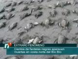 Сотни птиц падают с неба в Южной Америке